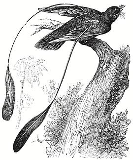Travel Botswana the pennant winged nightjar